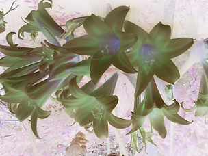 backyard flowers inverted.png
