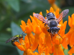 Asclepias tuberosa and two bees