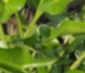 Peltandra virginica Arrow arum with gree