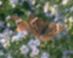 2 buckeyes on asters-2.jpg
