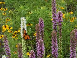 liatris spicata and rudbeckia with monarch