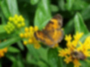 butterfly-weed-and-silvery-checkerspot-b