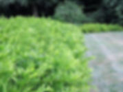 shrub.jpg