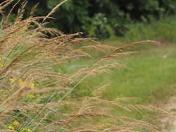 Schizachyrium scoparium Little Bluestem grass 2