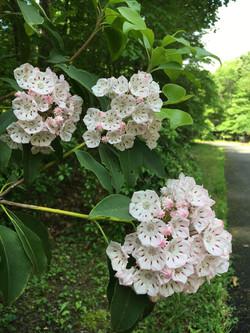 Kalmia latifolia closeup