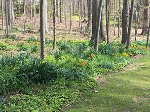 Woodland garden, Tiarella cordifolia, Me