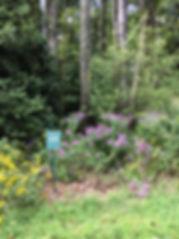 Symphyotrichum novae-angliae New England