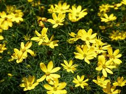 Coreopsis_verticilata_SueDingwell