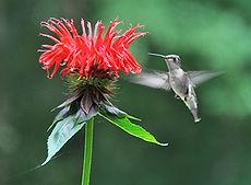 Monarda didyma, bee balm, humming bird