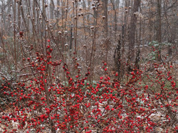 ilex verticillata and Monarda in snow