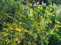 Rudbeckia submentosa 'Little Henry' Sweet Coneflower
