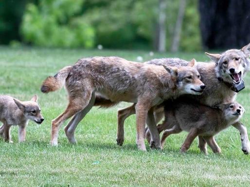 Toronto Wildlife Centre captura a coyote que deambulaba por Scarborough