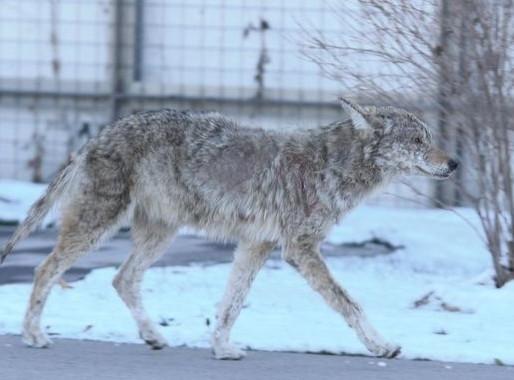 Toronto advierte a dueños de mascotas por coyotes