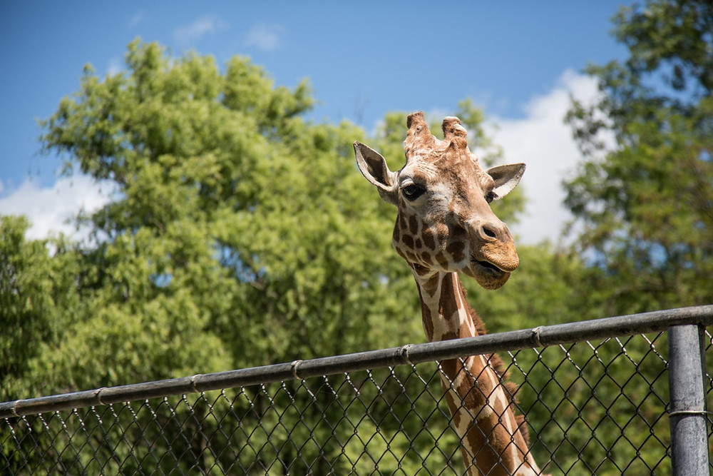 El CEO del zoológico dice que las entradas para todos los visitantes a partir del 19 de junio estarán disponibles a finales de esta semana.