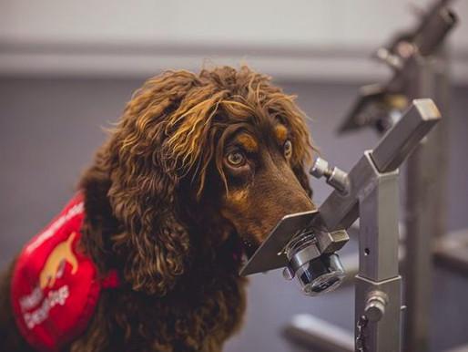Investigadores británicos entrenan perros para detectar el COVID-19
