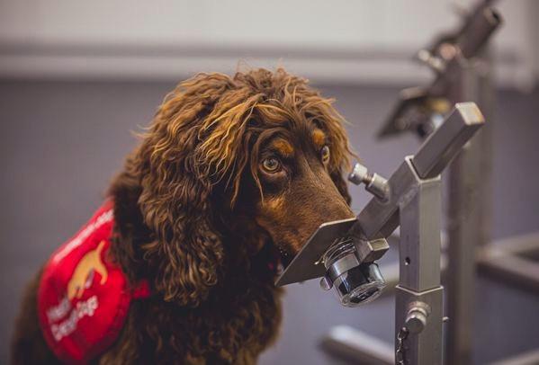 Asher huele una muestra de calcetín de alguien que pudo haber tenido COVID-19 en el centro de Perros de Detección Médica en Milton Keynes, Inglaterra, en marzo de 2020.