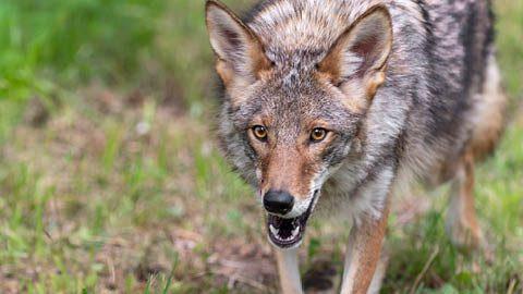 Ataques de coyotes en los parques de Vaughan