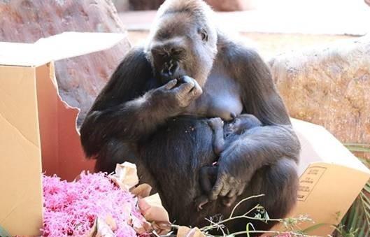Mamá Ngozi con la bebé gorila Charlie, que nació el 7 de junio de 2018 en el Zoológico de Toronto.