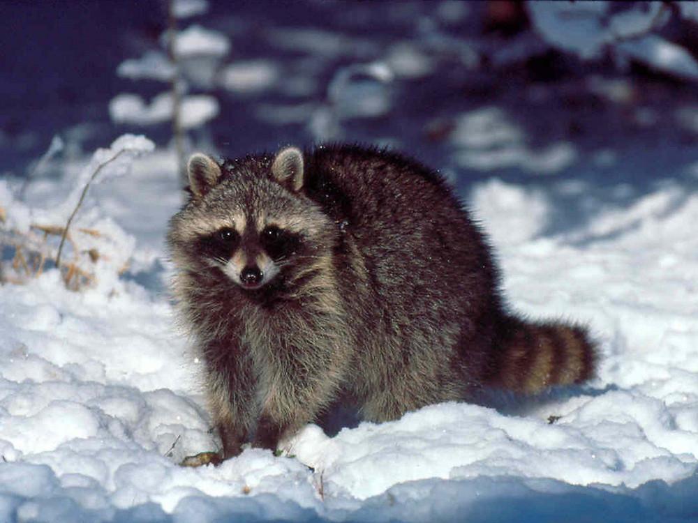 Toronto advierte a los residentes que eviten el contacto cercano con los mapaches.