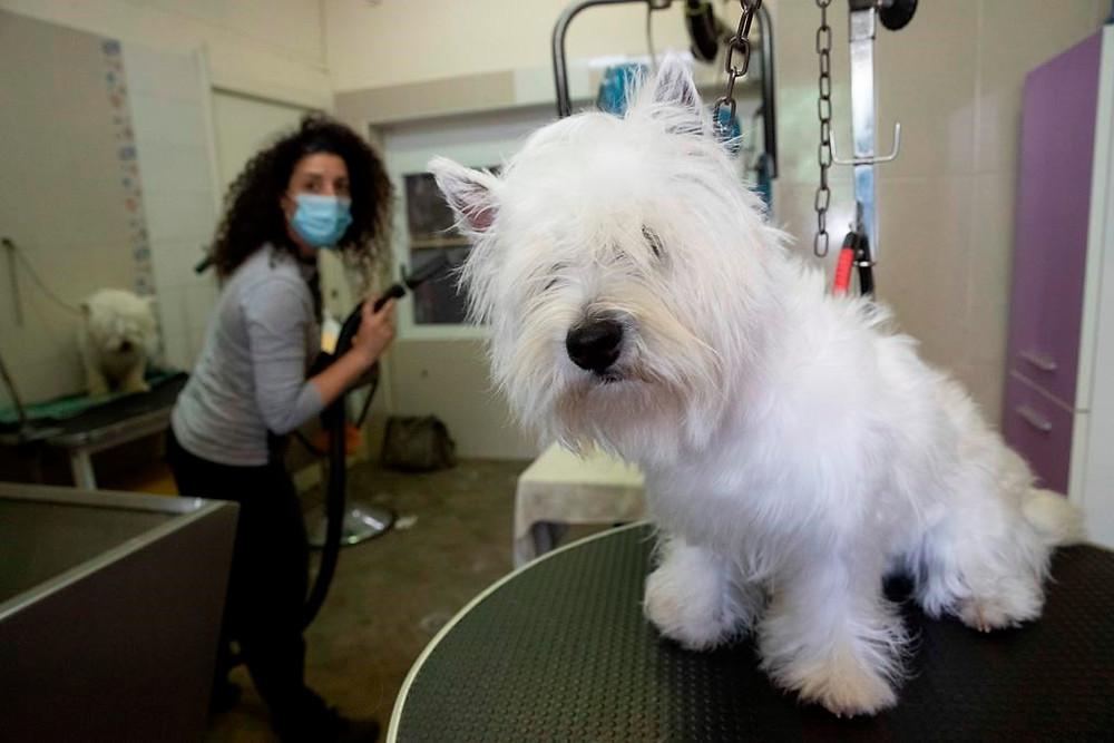 joven perro westie que necesita un corte de pelo, en la tienda de peluquería de mascotas Bottega di Zula en Roma.