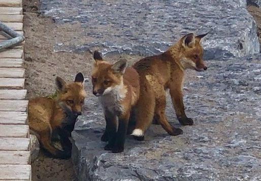 Aconsejan mantenerse alejados de la familia de zorros en Woodbine Beach