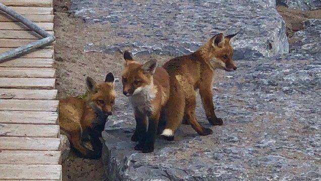 Toronto Wildlife Centre insta a los residentes de la ciudad a mantenerse alejados de la familia de los zorros en Woodbine Beach.