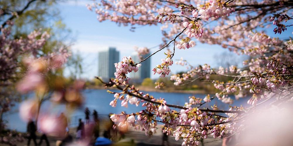 High Park permanecerá abierto durante el florecimiento de los arboles de cerezo.
