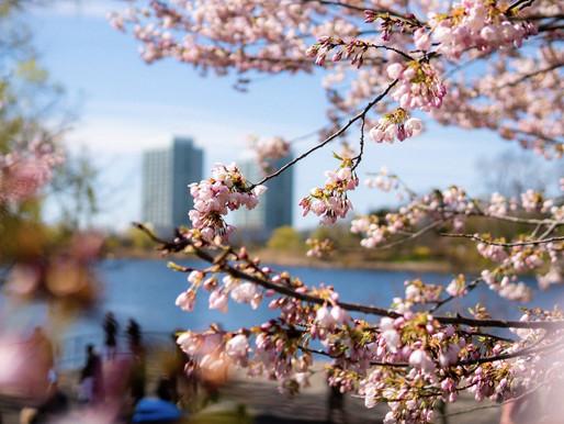 High Park permanecerá abierto durante el florecimiento de los arboles de cerezo