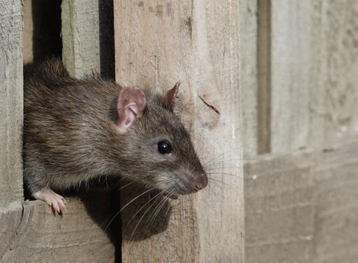 Ratas y ratones del GTA en movimiento