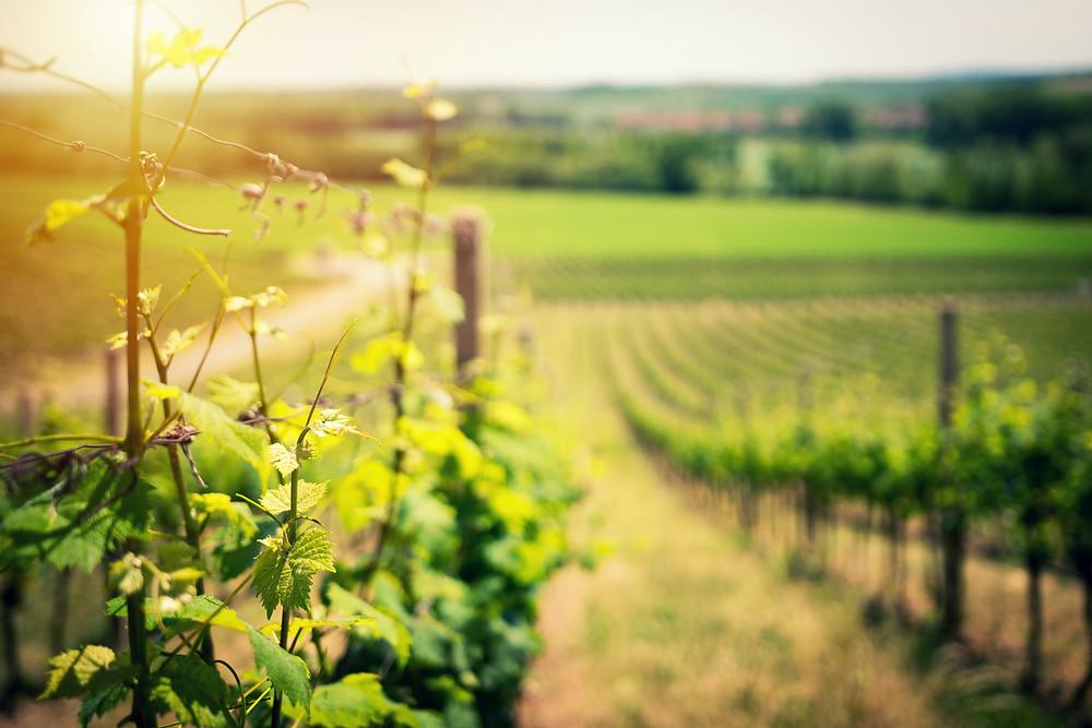Learn about Bodri vineyard Hungary