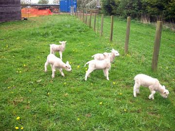 Curious lambs