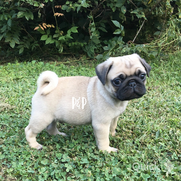 Want to adopt a P & P Pug | ppugs