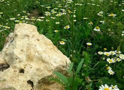 אבן לקט ופרחי בר