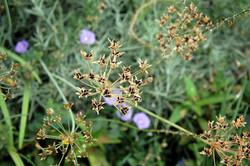 זרעי בר בתוך גינה טבעית