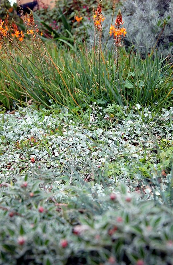 צמחי כיסוי ובולבין