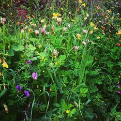 פרחי בר בגינה.jpg
