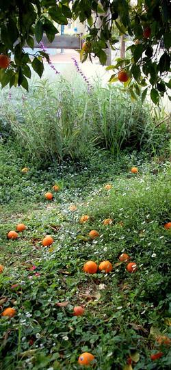 תפוזים וצמחי כיסוי