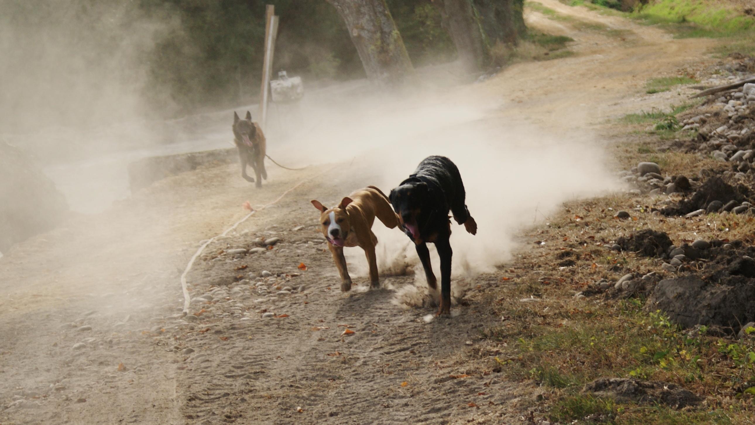 dressage chiens balade chiens