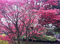 Japanese Maple by Amanda C Vesty founder Ancient and Sacred trees of Britain