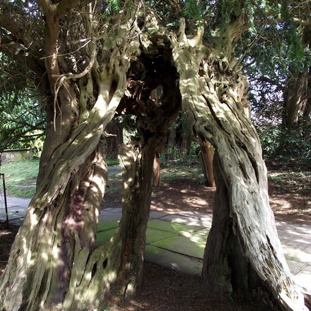 The Astbury Yew and The  Ancient and Sacred Trees Of Britain Facebook Group