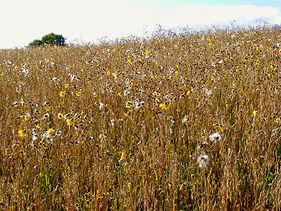 Flowers in the oat field