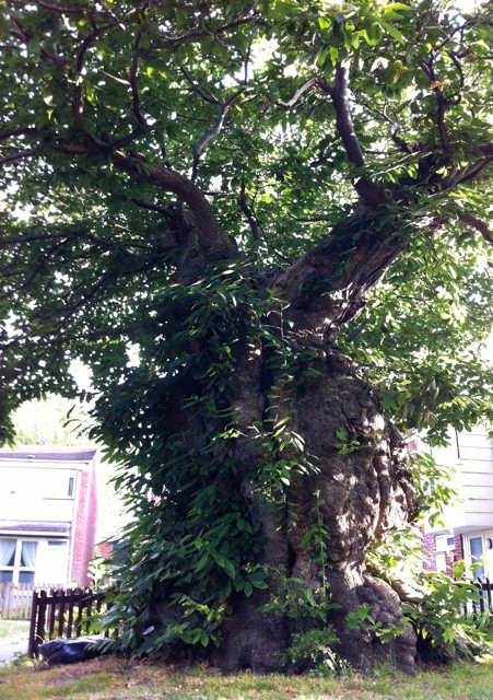 Grandmother Chestnut by Amanda Claire for Ancient & Sacred Trees of Britain