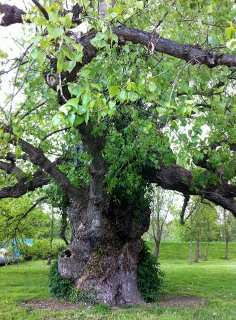 Black Poplar - Ancient And Sacred Trees Of B