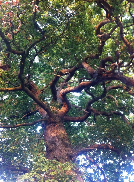 Great Oak by Amanda Claire Ancient & Sacred Trees Of Britain