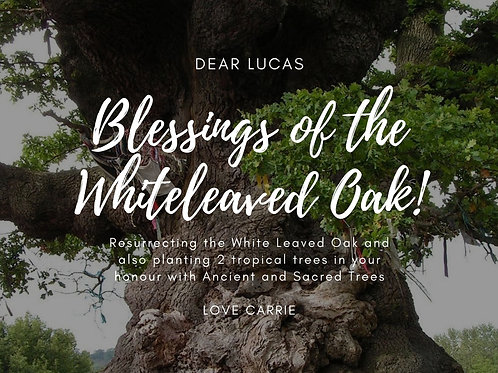 Whiteleaved Oak Blessings