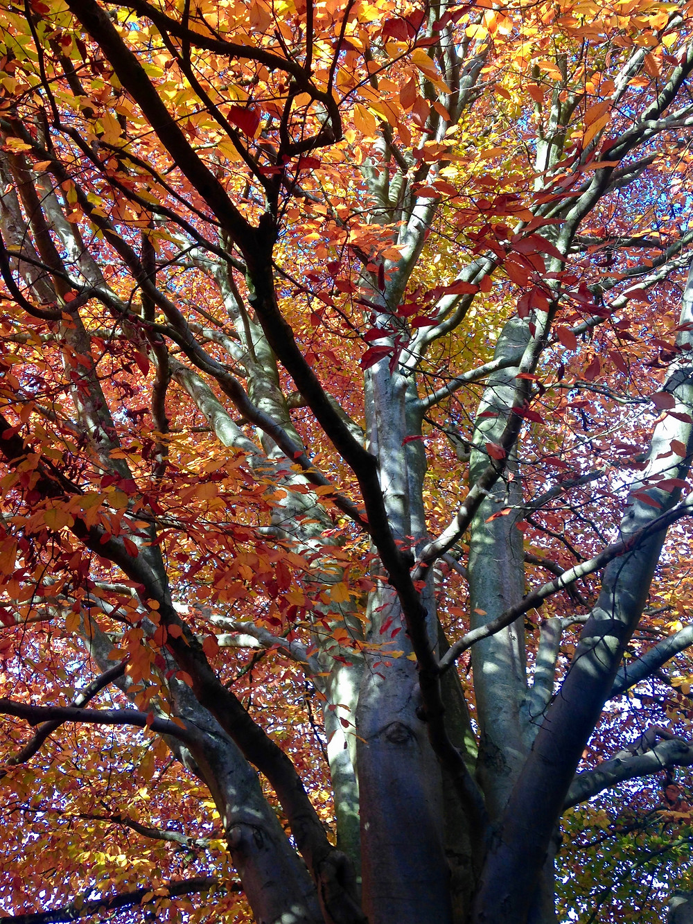 Beech Tree canopy in Autumn by Amanda Vesty