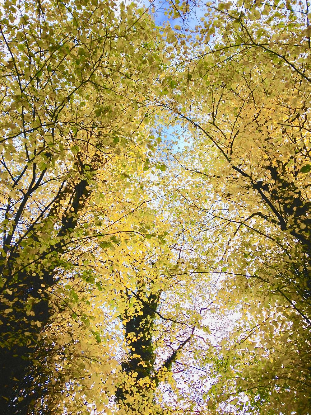 Golden Lime Trees
