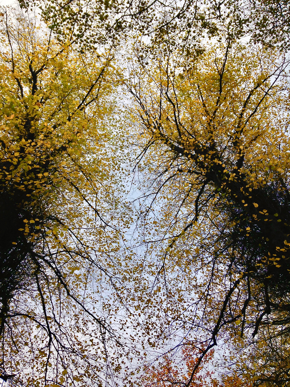 Two golden lime trees