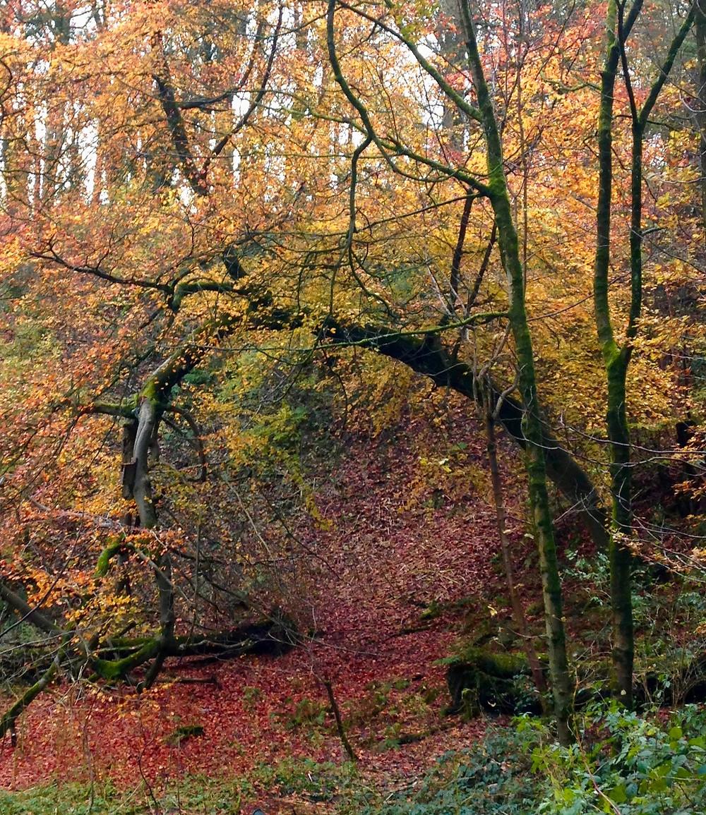 Curved Autumn Beech Tree Lawton Woods