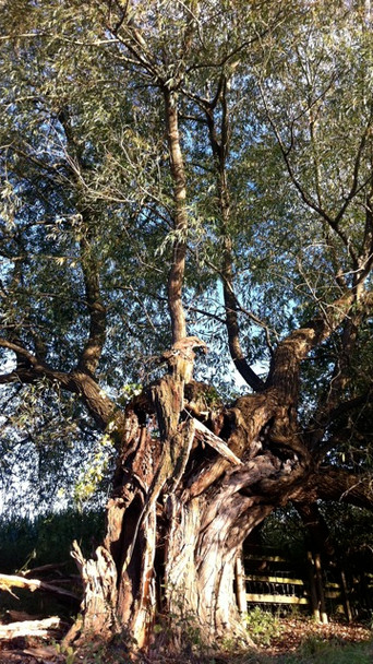 Old Willow - Ancinet Sacred Trees Of Bri